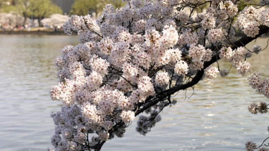 Learn How To Plant And Grow Cherry Blossom Trees Avoid Common Mistakes Know When You Can Expect Those Pink White Blossoms Ear In Your Yard