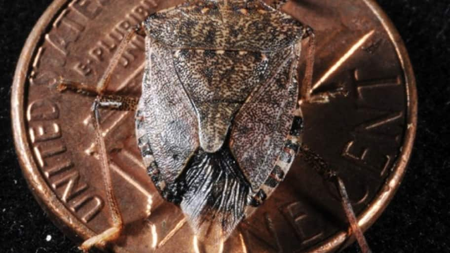 This invasive stink bug has a shield-like brown body and white antenna segments. (Photo by Purdue Extension Entomology)