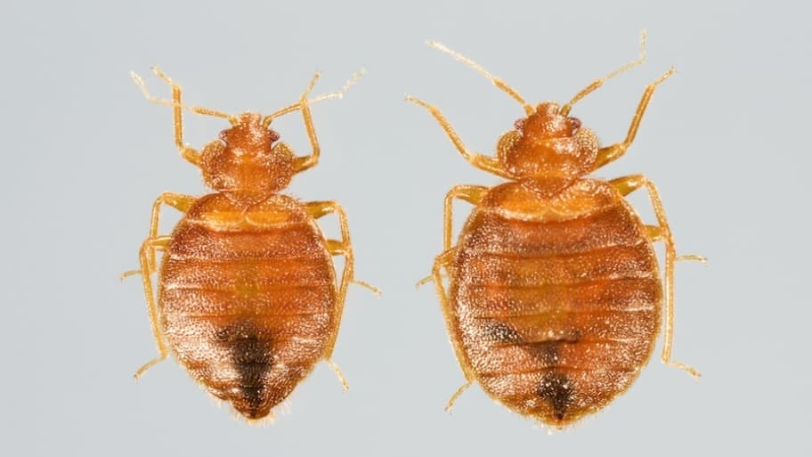 How To Get Rid Of Bed Bugs Angie S List