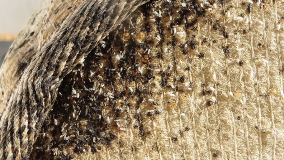 Beautiful Bed Bug Infestation: Risks From Pesticides And Insecticides