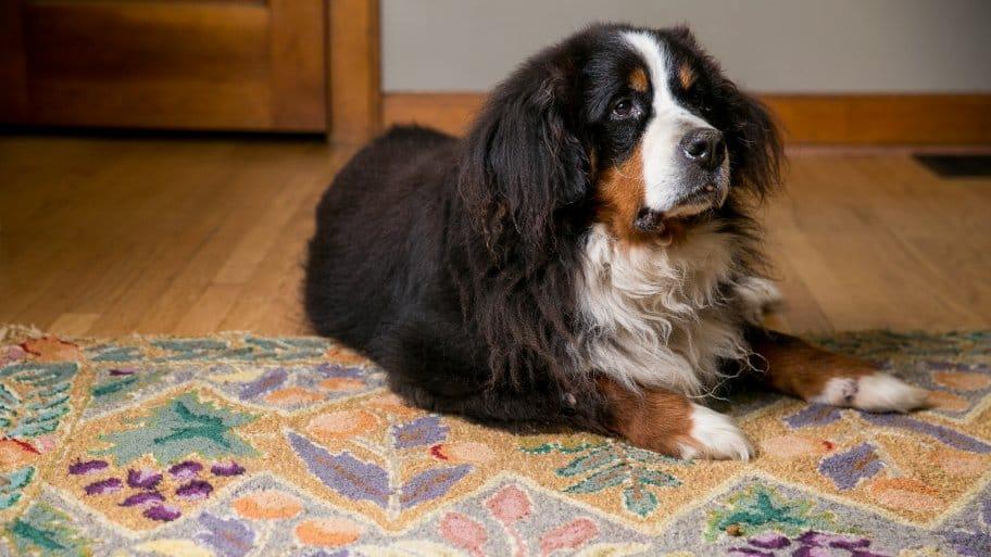 dog on rug