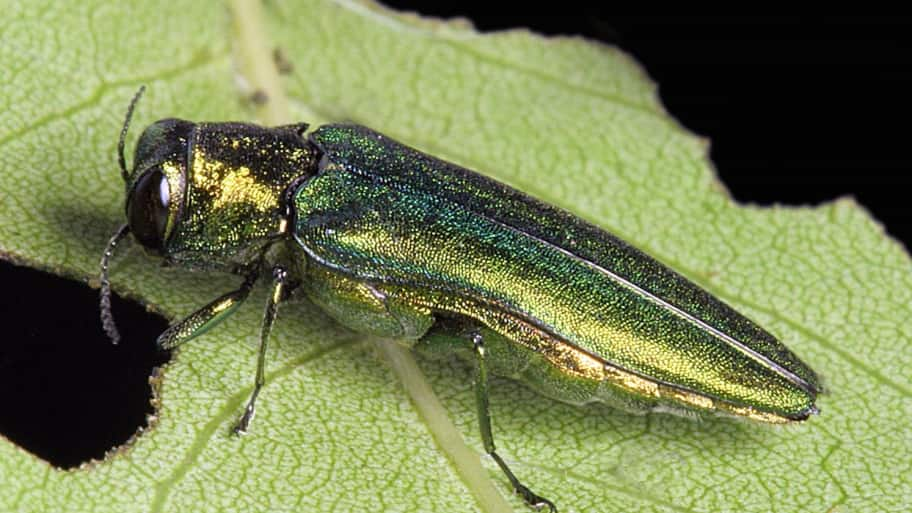 Hundreds of Columbus ash trees have been removed due to the invasive emerald ash borer. (Photo by  David Cappaert, Michigan State University, Bugwood.org)