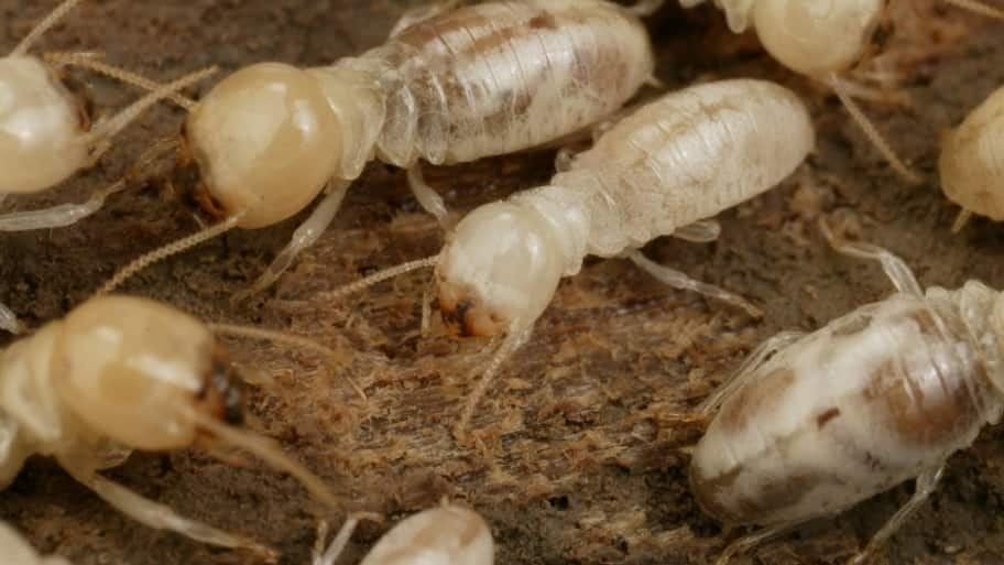 Giant Northern Termites