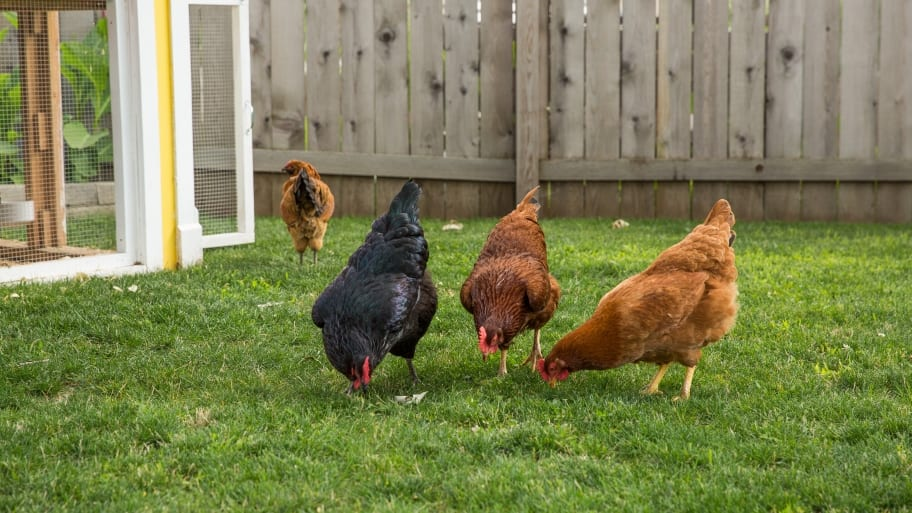 Raising Chickens not just for the farm anymore | Angie's List