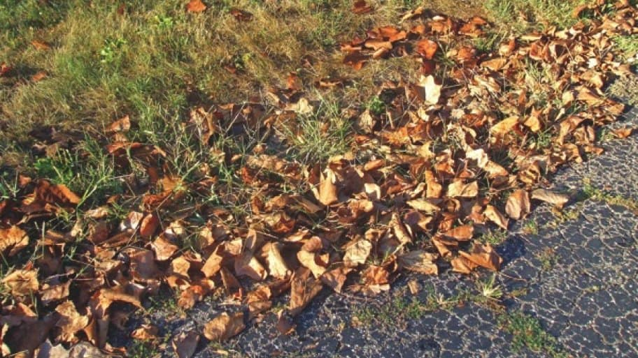 A shallow collection of dried leaves on the lawn is usually not damaging to grass. (Photo courtesy of Jo Ellen Meyers Sharp)