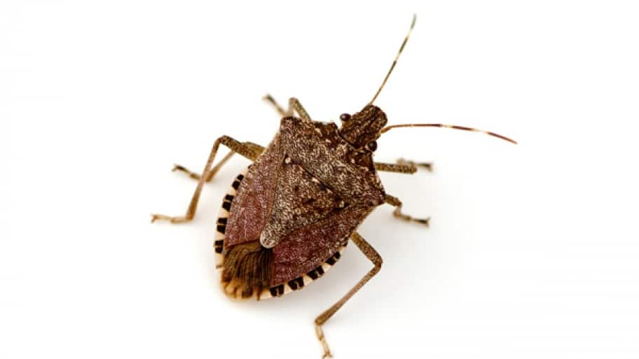 stink bug close up