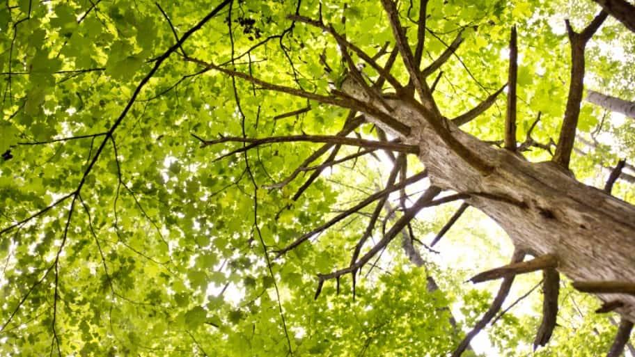 tall green leafy tree (Photo by Photo by Eldon Lindsay)