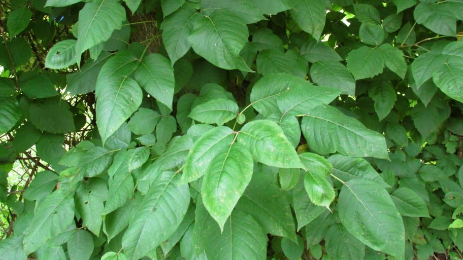 Poison Ivy Rash How To Avoid It For Good Angie S List