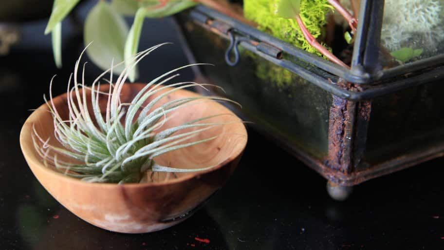 air plant in bowl