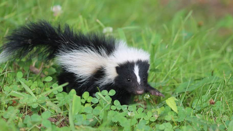Skunk in the yard