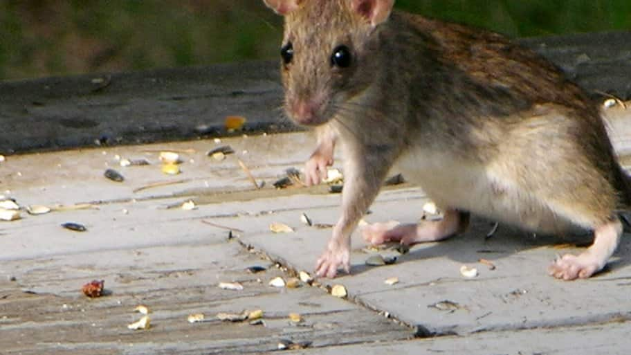 You Donu0027t Necessarily Need Lethal Traps Or Poison To Get Rid Of Rats In  Your House. Consider Natural Approaches As Well. (Photo Courtesy Of Alex  Ou0027Neal)