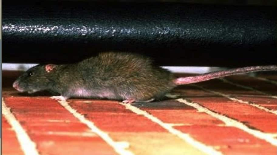 How Much Does a Rat Exterminator Cost? | Angie's List