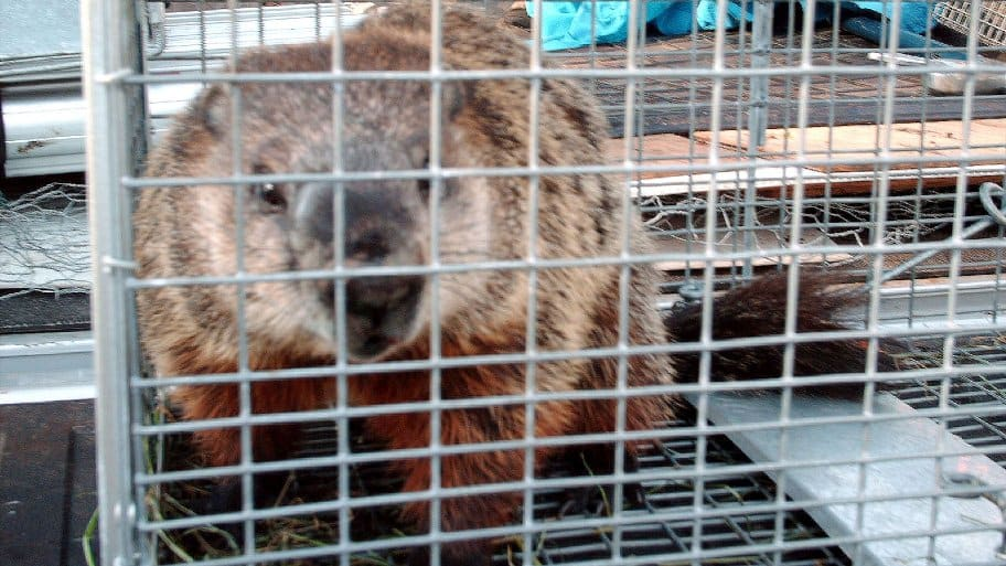 Groundhogs can wreak havoc on your garden. Call a professional, who can relocate them if you have a problem at your house. (Photo courtesy of Gregg Nelson)