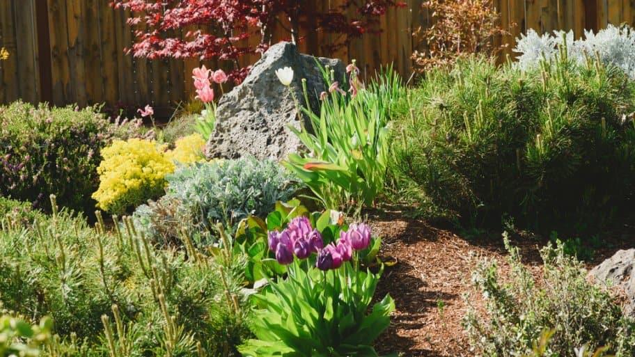native species, tulips, dwarf evergreen