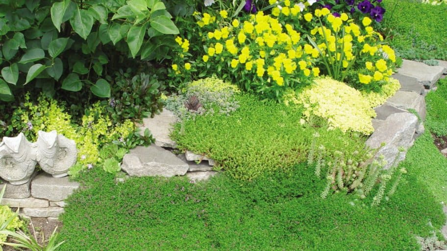 ground cover mulch with thyme