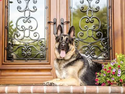 german shepherd sitting on doorstep