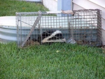 Trapped skunk Chicago