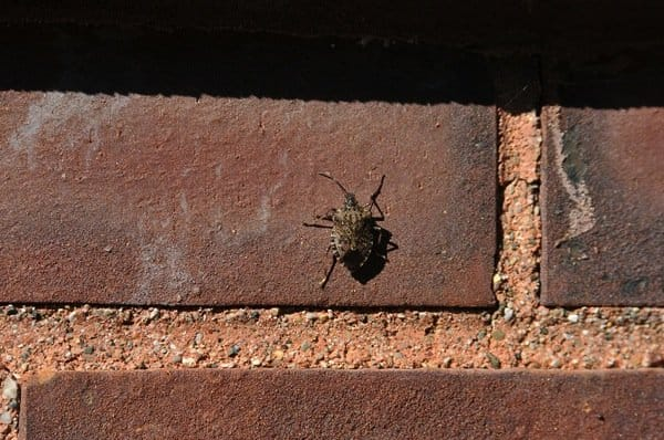 Stink bugs enter homes through windows, door jams, dryer vents and foundation cracks. (Photo provided by Purdue Extension Entomology)