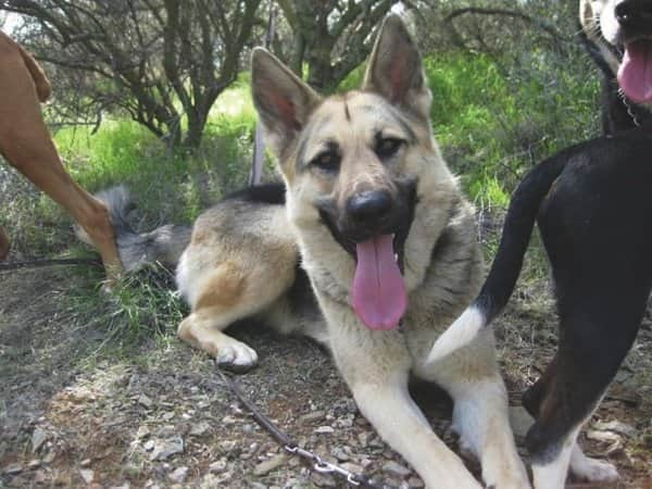 Dave Hutchison says Lacy had limited experience with other dogs, but became part of the pack hiking with Four Paws. (Photo courtesy of Dave Hutchison)