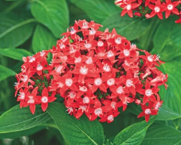 Butterfly red pentas attract hummingbirds and butterflies. (Photo courtesy of Proven Winners.)