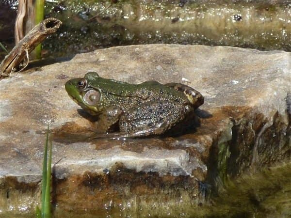 Ponds attract not only birds and butterflies, but also frogs. (Photo courtesy of member Shelly P. of Spring Mills, Penn.)