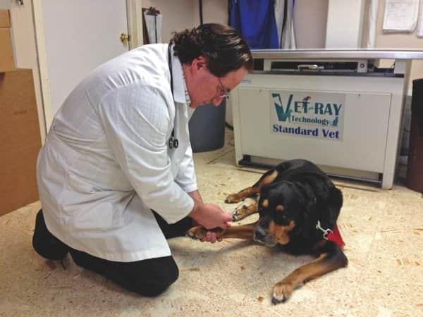 Halper, a veterinarian at Hillview Veterinary checks 12-year-old Zeus' blood sugar level.  (Photo courtesy of Joshua Halper)