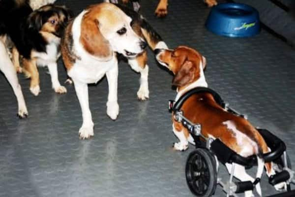 Pan Bing (in wheelchair) encounters Bagel the beagle at The Wagging Tail doggie day care. (Photo by Mohit SantRam)