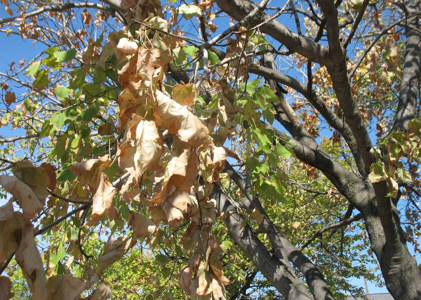 A tree will shed its leaves prematurely when it doesn't have enought water to support them. (Photo by Mike LaFollette)