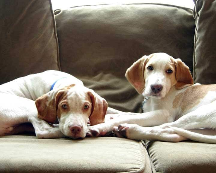 two dogs lying on couch