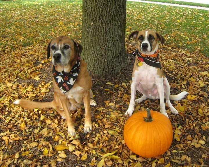 two dogs in yard with pumpkin