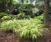 Photo courtesy of C.L. Fornari Japanese Hakon is the perfect grass for shade gardens,  but this plant tolerates a good deal of sun as well.