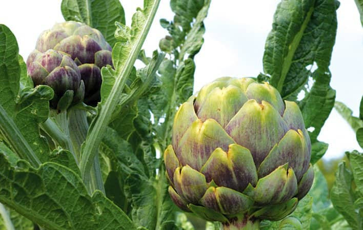 California's Mediterranean-like climate is well suited for growing artichokes. Winter is the perfect time to purchase dormant artichoke roots for a late summer planting.