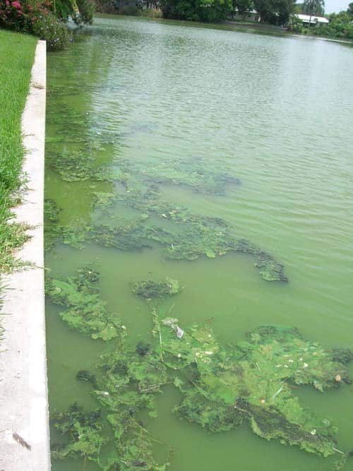 Photo courtesy of Pinellas County Watershed Management | County officials say many homeowners don't realize that fertilizers and lawn debris contribute to green-water algal blooms.