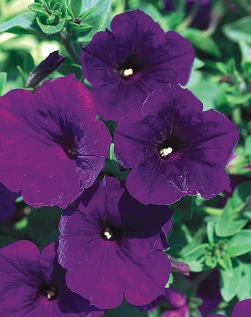 "The fragrant ""Royal Velvet"" from Proven Winners is the country's best selling petunia. 