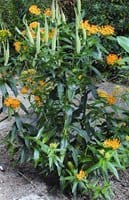 Photo courtesy of C.L. Fornari The butterfly weed  displays the last flowers of the season.