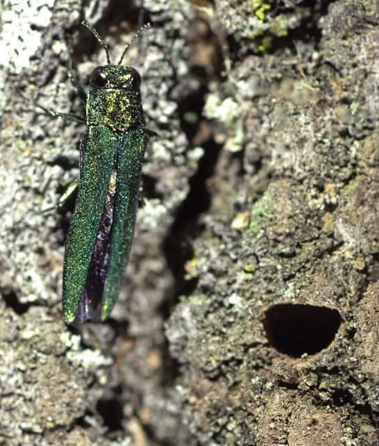 Emerald ash borers can wreak havoc on ash trees.