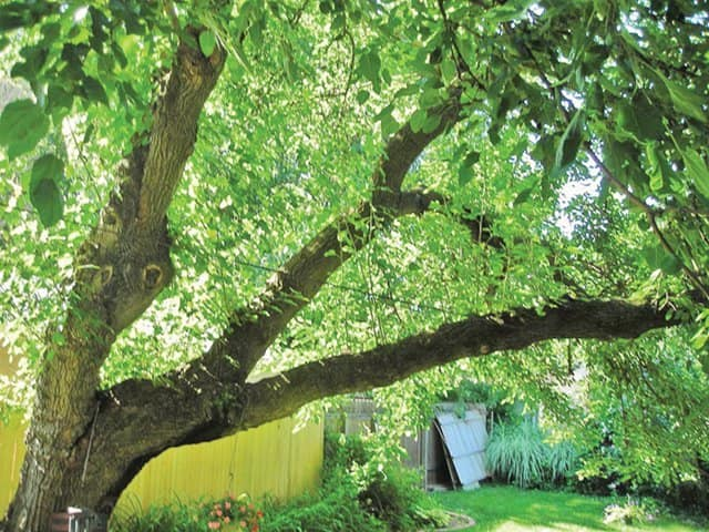 Mulberry tree | Tree service