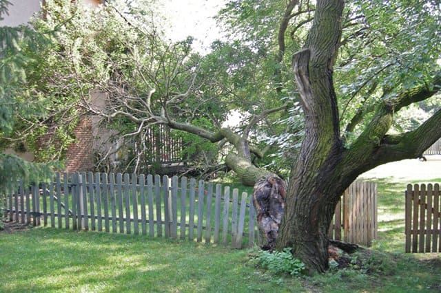 Photo courtesy of Robert Kirsch | A storm destroyed this mulberry tree, and Kirsch says he was OK with it.
