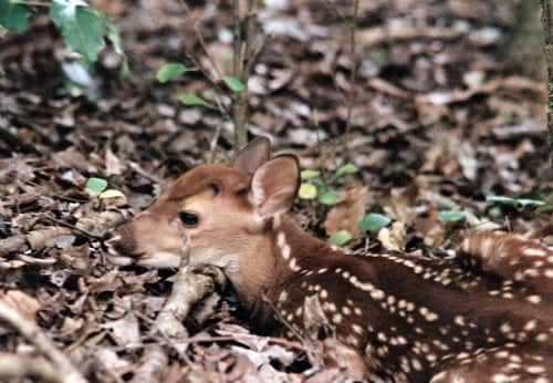 Tree service and newborn fawns