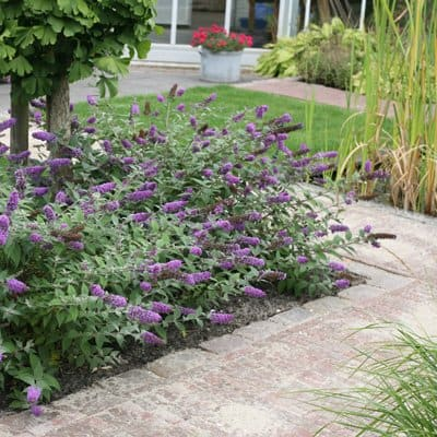 The Blue Chip butterfly bush. (Photo courtesy of Proven Winners/ColorChoice Plants)