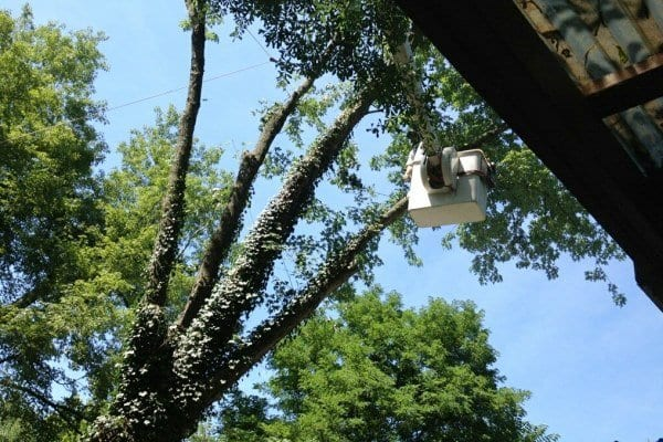 This member had to remove his large maple because of damage from carpenter ants and proximity to his house. (Photo courtesy of Angie's List member Carl S. of Buckhannon, W.V.)