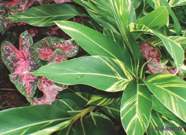 The foliage of Caladium and Alpinia zerumbet ginger lily provide a colorful combination without flowers. (Photo courtesy of Christopher Fox)