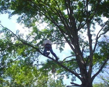 tree service contractor trimming a tree 40 feet in the air