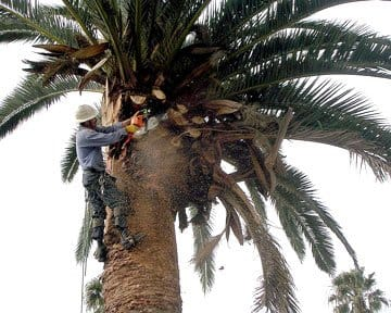 tree service expert pruning a palm tree