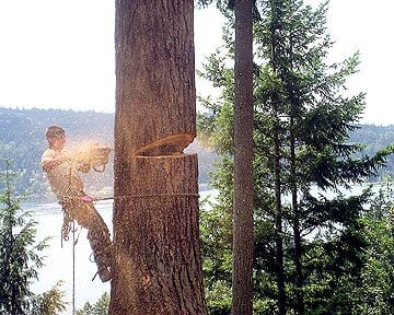 tree service contractor removing a 100-foot fir tree