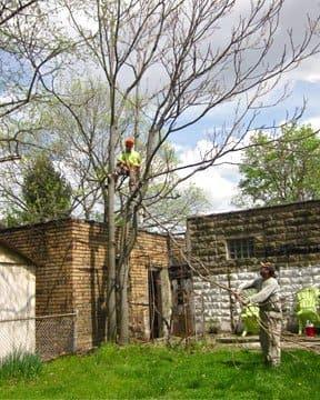 tree service expert removing sumacs