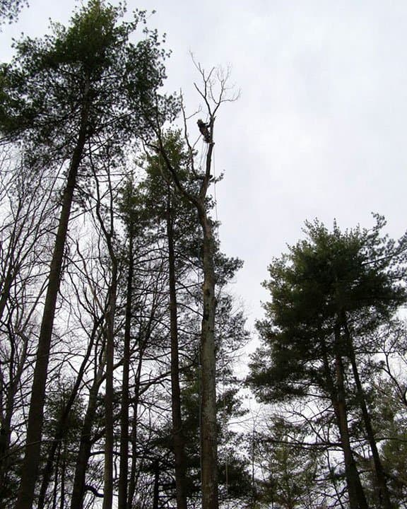 tree removal service taking down 90-foot trees