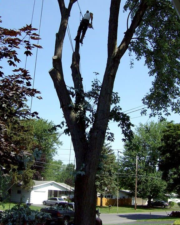 tree removal service taking down an 80-foot tree
