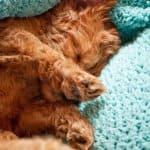 sleeping labradoodle puppy