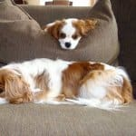 two puppies lying on the couch